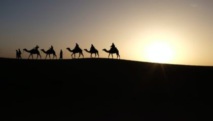 silhouette of camels
